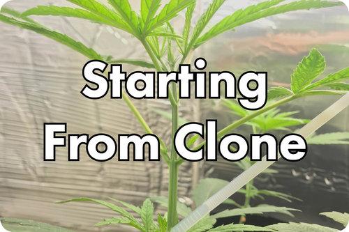 Growing marijuana clones